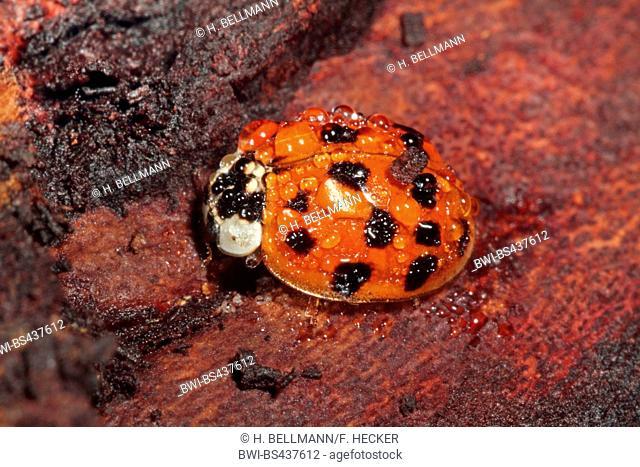multicoloured Asian beetle (Harmonia axyridis), with rain drops, Germany