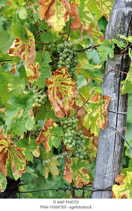 Grape-vine, grape Vitis spec. - Dambach-la-Ville, Bas-Rhin, Alsace, France, Europe