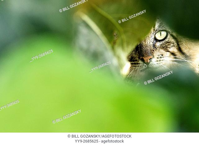 Maine Coon Cat peeking through leaves - South Padre Island, Texas, USA