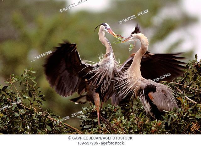 Great Blue Heron (Ardea herodias) parent feeding young. USA, Florida, Venice