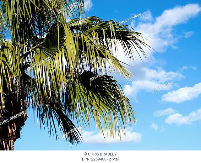 Palm tree in winter sun, Costa del Sol; Andalusia, Spain