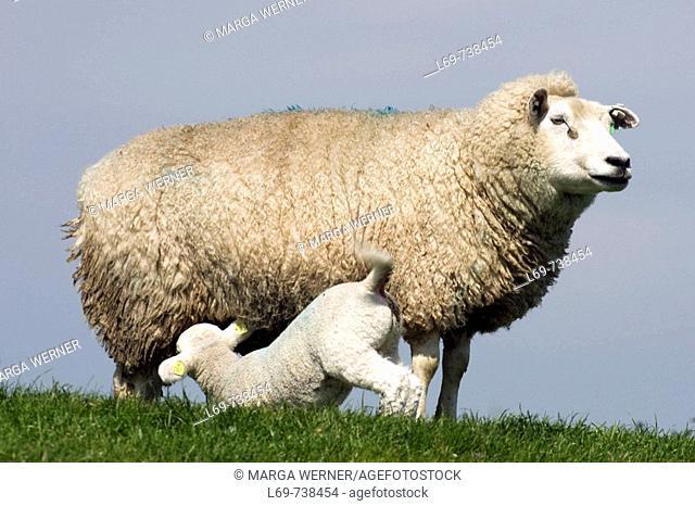 Sheep with a suckling lamb on a dyke. Island Foehr, Schleswig-Holstein, Germany