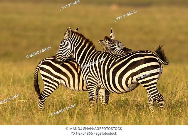Two Zebras grooming each other