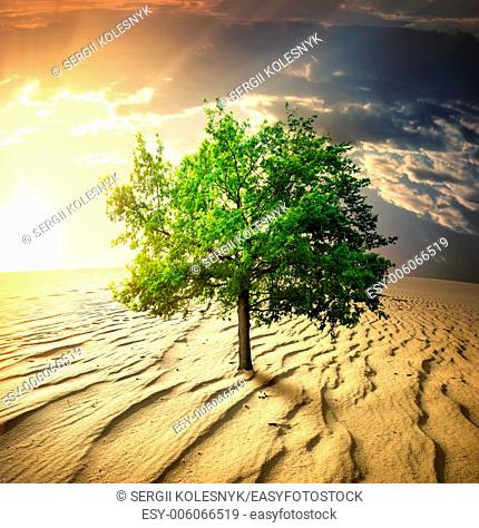 Green tree in the desert at sunset