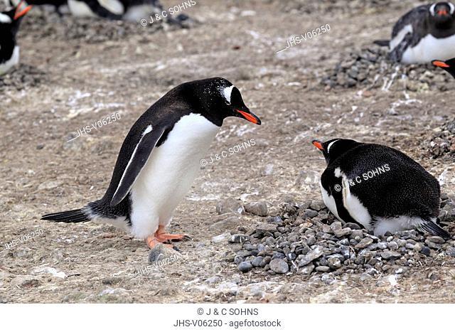 Gentoo Penguin, (Pygoscelis papua), Antarctica, Half Moon Island, adult breeding