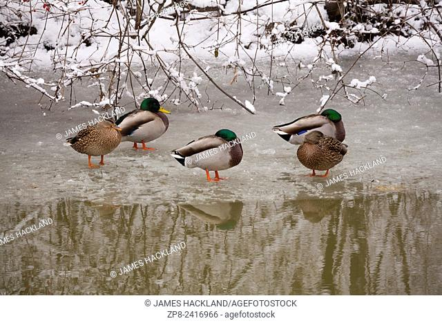 Mallard ducks 'Anas platyrhynchos' trying to keep warm on the ice at the edge of the East Holland River at Fairy Lake Park. Newmarket, Ontario, Canada
