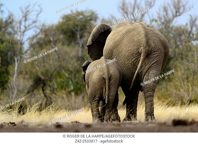African bush elephant (Loxodonta africana) cow and calf. Mashatu Game Reserve. Northern Tuli Game Reserve. Botswana