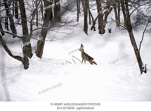 Roe deer in winter (Capreolus capreolus), France