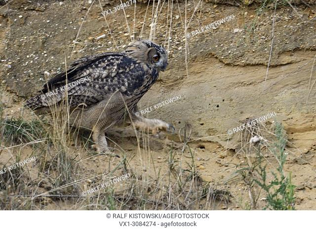 Eurasian Eagle Owl ( Bubo bubo ), grown up, walks, walking through the slope of a sand pit, exploring its surrounding, wildlife, Europe
