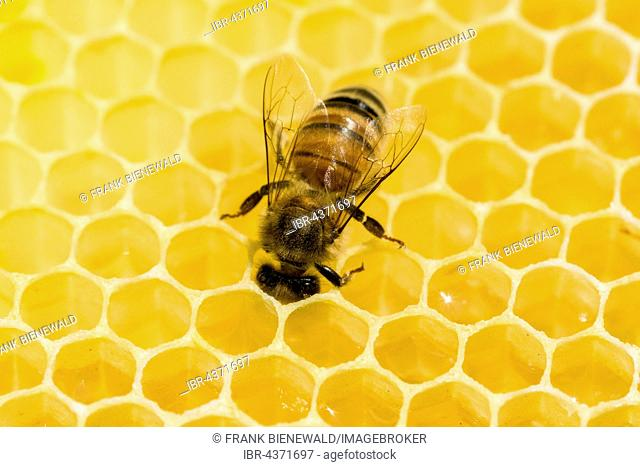 A Carniolan honey bee (Apis mellifera carnica) is acting on a honeycomb, Saxony, Germany