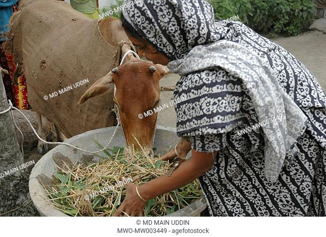 A farmer's wife looking after their cattle Rangpur
