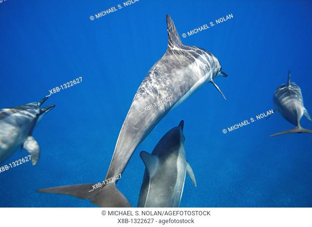 Hawaiian spinner dolphins Stenella longirostris underwater in the AuAu Channel off the coast of Maui, Hawaii, USA  Pacific Ocean  Note the length of the rostrum