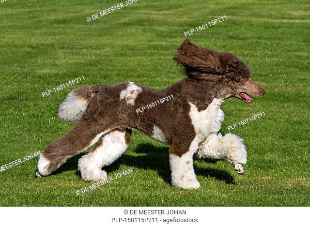 Harlequin poodle (Canis lupus familiaris) running in garden