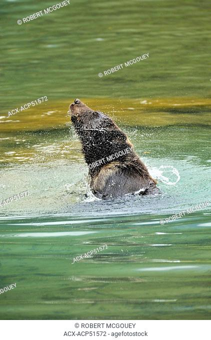 A wild young grizzly bear Ursus arctos splashing and playing in the calm water of the lagoon at Fish Creek near Hyder Alaska U.S.A