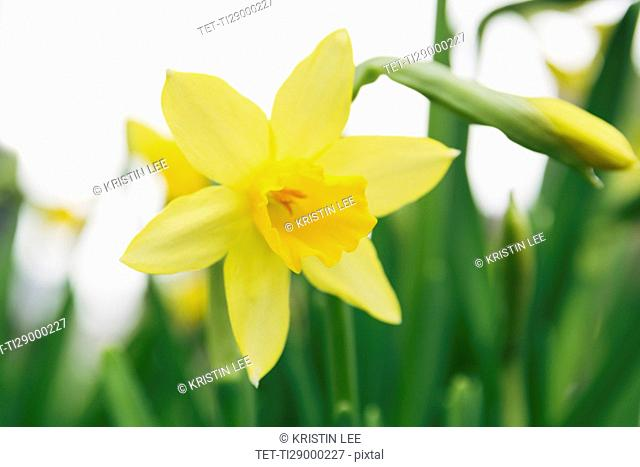 Close up of daffodil