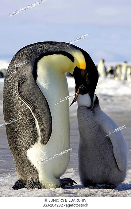 Emperor Penguin (Aptenodytes forsteri). Adult feeding its chick. Snow Hill Island, Antarctica