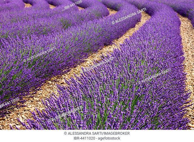 Blooming lavender (Lavandula angustifolia) field, Plateau de Valensole, Alpes-de-Haute-Provence, Provence-Alpes-Côte d'Azur, France