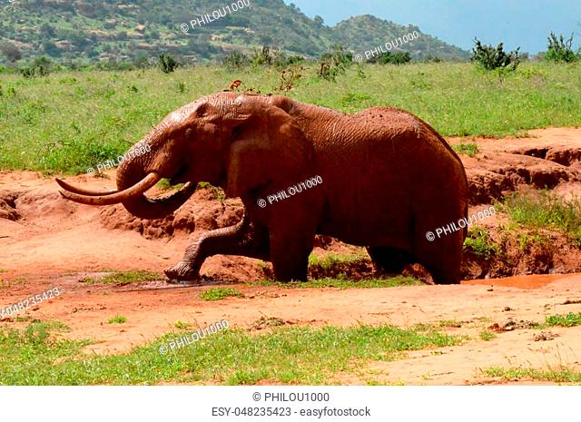 Kenya's red elephant taking a mud bath in the East Tsavo Park