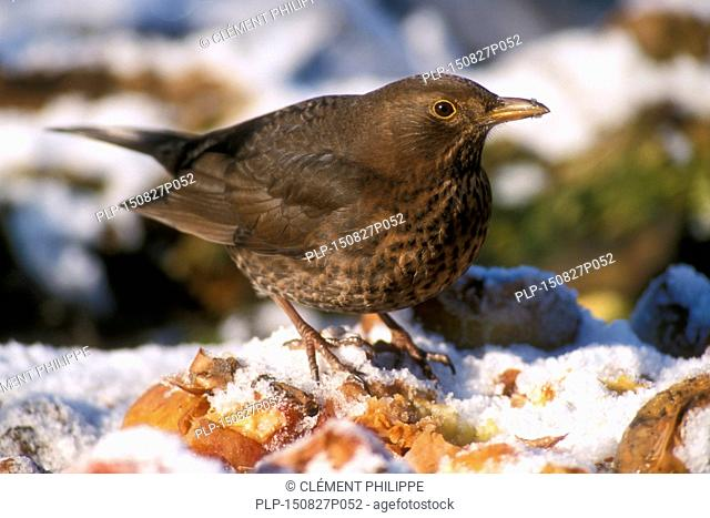 Common Blackbird (Turdus merula) female eating fallen rotten apples in the snow in winter