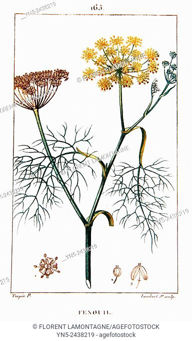 Botanical drawing of Fennel