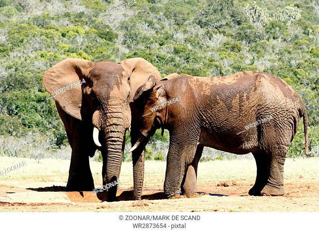 Hi Brother - Two male African Bush Elephants