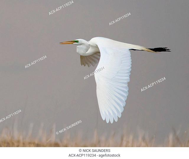 A Great Egret ( Ardea alba ) in flight near Morse, Saskatchewan, Canada