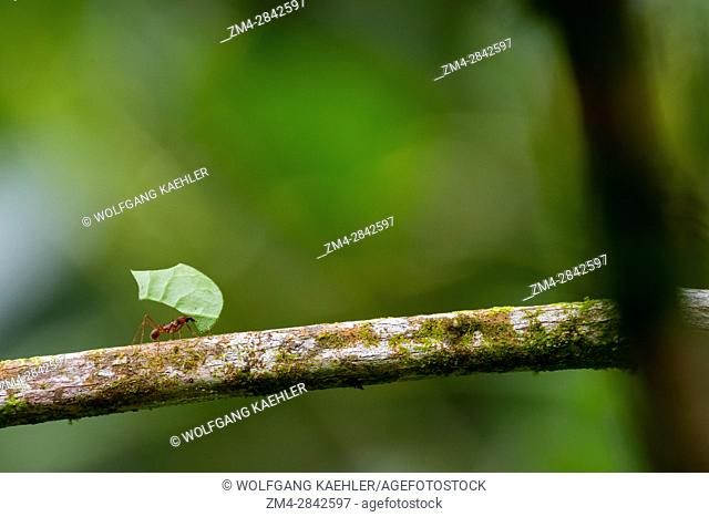 A Leafcutter ant carries a section of a leaf larger than their own body in order to cultivate fungus for food at their colony in the rain forest near La Selva...