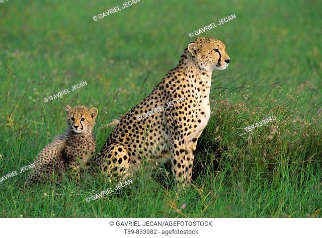 Cheetah Acinonyx jubatus Mother and young