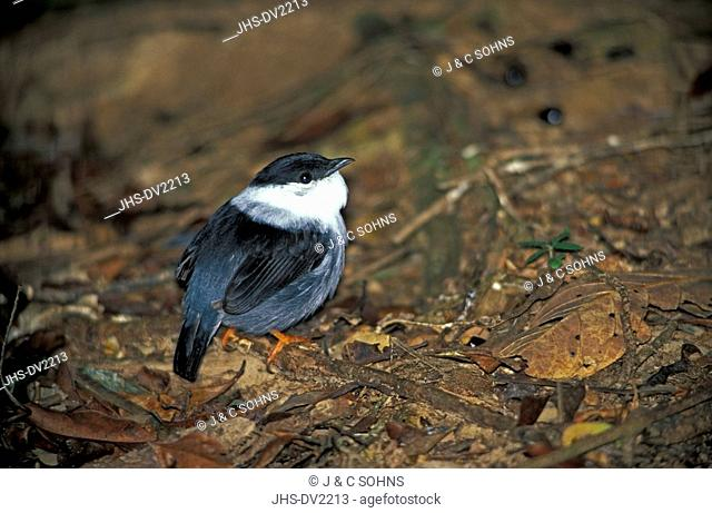 White-Bearded Manakin,Manacus manacus,Trinidad,Trinidad and Tobago,Carib,adult on ground