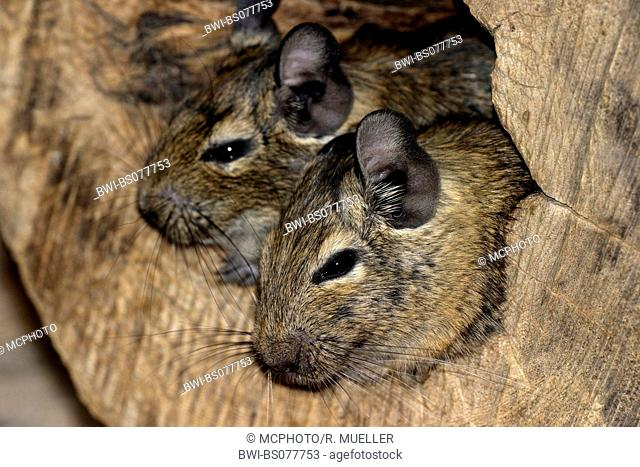 degu, Brush-tail Rat (Octodon degus), two individuals looking out of a hollow tree trunk
