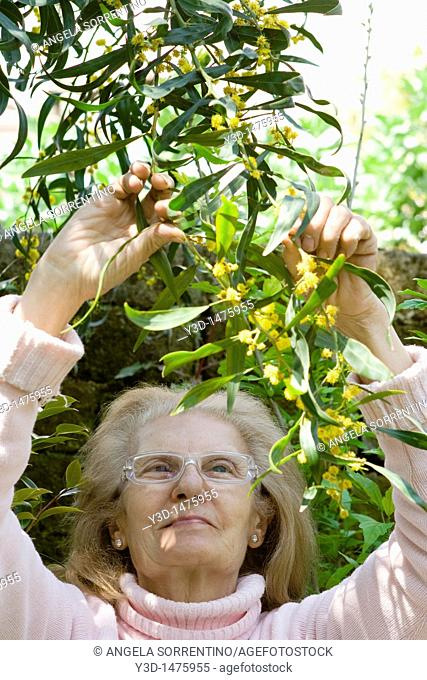Senior woman looking at mimosa flowers on tree