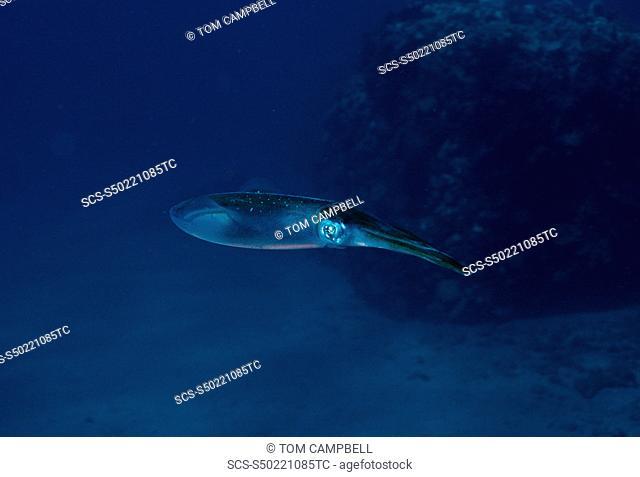 Reef squid Sepioteuthis lessoniana Indo Pacific