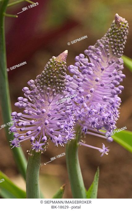 Bloom of Scilla maderensis