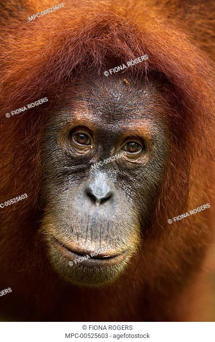 Sumatran Orangutan (Pongo abelii) twelve year old female, named Juni, Gunung Leuser National Park, Sumatra, Indonesia