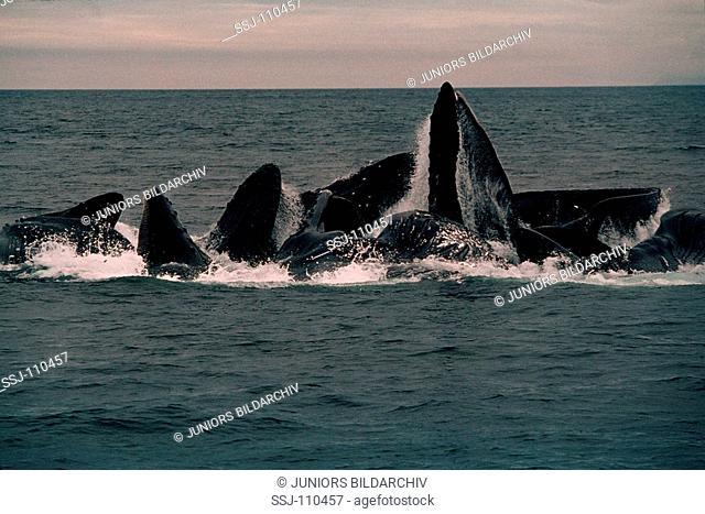 megaptera novaeangliae / humpback whale - bubble net or lunge feeding
