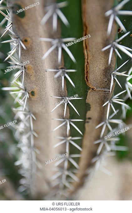 Venezuela, north coast, Henri Pittier Nationalpark, cactus, close-up