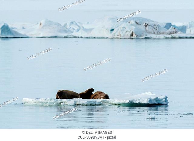 Atlantic walruses (Odobenus rosmarus) on iceberg, Vibebukta, Austfonna, Nordaustlandet, Svalbard, Norway