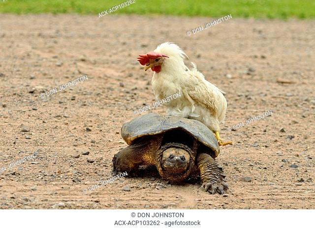 common snapping turtle (Chelydra serpentina) Captive with hen riding on its shell, Minnesota wildlife Connection, Sandstone, Minnesota, USA