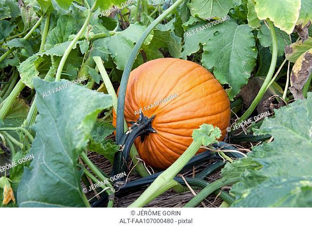 Pumpkin growing pumpkin patch