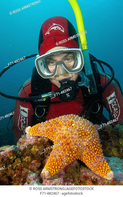 Female diver looking at a firebrick starfish. (Asterodiscus truncatus). Poor Knights Islands, New Zealand. South Pacific Ocean