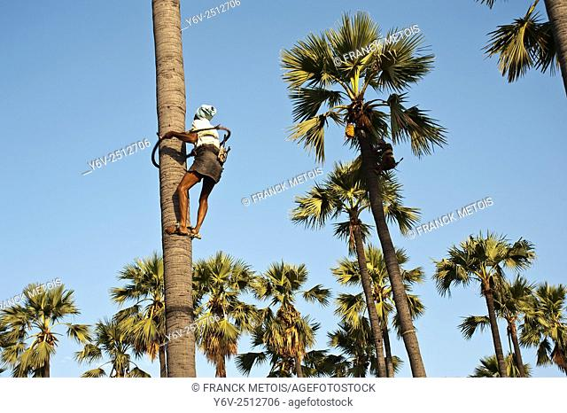 Palm tree climber collecting toddy ( palm tree wine) in Telangana state (India)