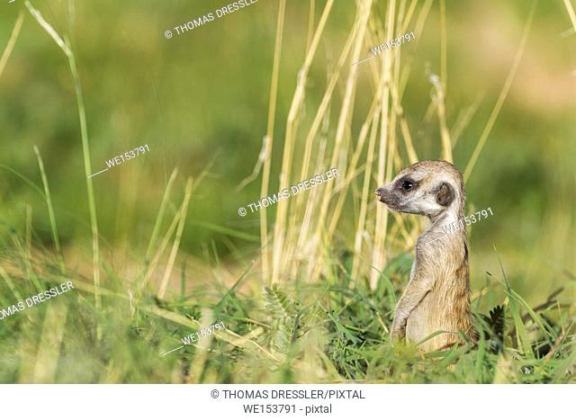 Suricate (Suricata suricatta). Also called Meerkat. Young on the lookout. During the rainy season in green surroundings. Kalahari Desert