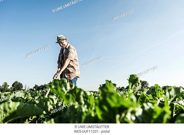 Happy senior farmer working in a field