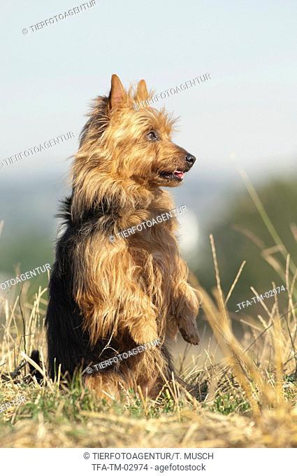 begging Australian Terrier