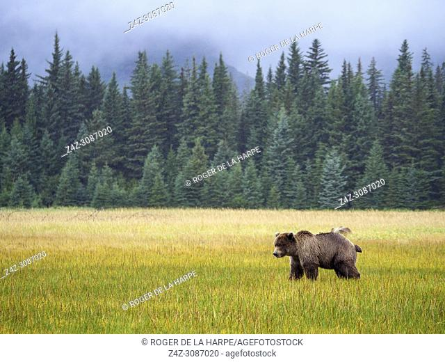 Coastal brown bear, also known as Grizzly Bear (Ursus Arctos) and Douglas fir also known as Douglas-fir and Oregon pine (Pseudotsuga menziesii)