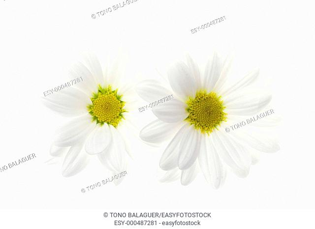 Two white daisy flower isolated on white background