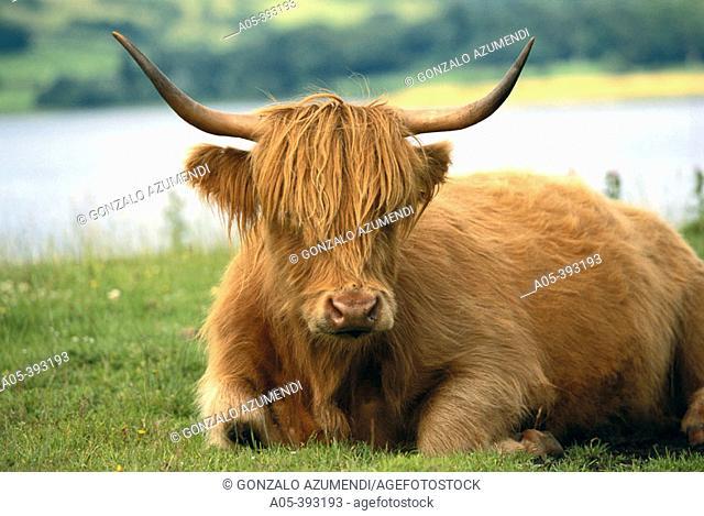 Scottish Highland cattle. Scotland