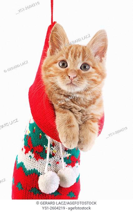 Red Tabby Domestic Cat, Kitten standing in Christmas Sock