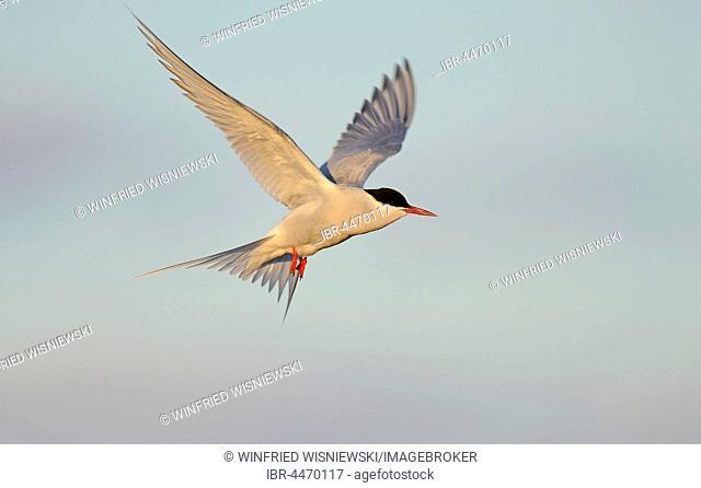Arctic Tern (Sterna paradisaea) in flight, Varanger, Norway