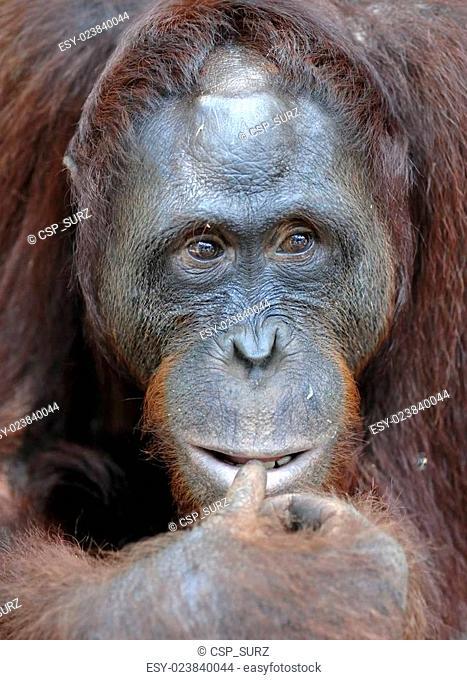 Orangutan Portrait. A portrait of the young orangutan on a nickname Ben. Close up at a short distance. Bornean orangutan (Pongo pygmaeus) in the wild nature